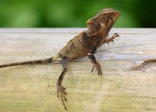 Helmeted Iguana or Casque-headed Lizard Royalty Free Stock Photography