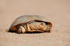 Helmeted moerasschildpad stock afbeelding