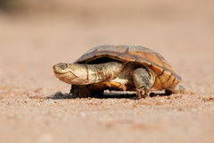 Helmeted terrapin Royalty Free Stock Images