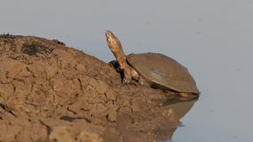 Helmeted terrapin Royalty Free Stock Photography