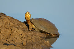 Helmeted terrapin Stock Image