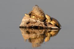 Helmeted terrapins Royalty Free Stock Photos