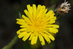 Helminthotheca echioides, bristly oxtongue Royalty Free Stock Photo
