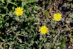Helminthotheca echioides, bristly oxtongue Stock Photography