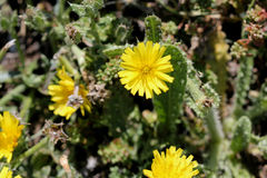 Helminthotheca echioides, bristly oxtongue. Syn: Picris echioides, spreading herb with bristly leaves and yellow ligulate heads surrounded by 3-5 large ovate royalty free stock image