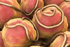 Helminths nematodes Enterobius w żyłce Obraz Royalty Free