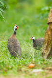 Helmuted Guinea Fowl Royalty Free Stock Images