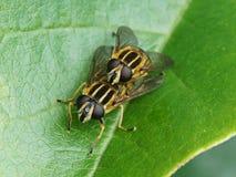 Helophilus pendulus - Hoverflies Arkivfoton