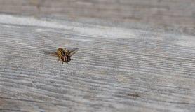 Helophilus sp 是看起来象yellowjacket黄蜂的黄色镶边的syrphid飞行flowerfly 库存图片