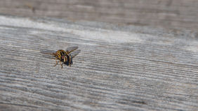 Helophilus SP syrphid η μύγα είναι ένα κίτρινο ριγωτό flowerfly που μοιάζει με μια σφήκα yellowjacket Στοκ φωτογραφία με δικαίωμα ελεύθερης χρήσης