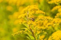 Helophilus trivittatus pollinates Stock Images