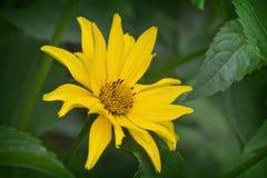 helopsis del fiore Fotografia Stock Libera da Diritti