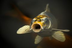 Help!. Colorfuld diamond koi carp in pond royalty free stock photos