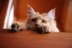Help. GingerMaine Coon Cat face and paws, Expressions help, cute cat, peek-a-boo, there you are Stock Image