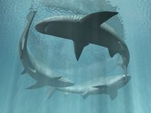 Help. Large sharks are in clear water Royalty Free Stock Images