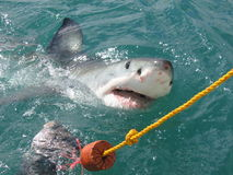 Help!. Shark preying for food... frightning royalty free stock images