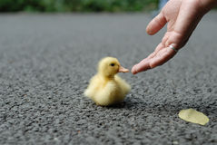 Help duck baby. A human hand and a yellow duck baby. The person wants to help the duck royalty free stock image