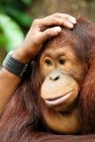 Helpend hand - utan orang-oetan Stock Afbeelding