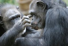 Helping hand. A female chimp helps her female friend with something in her eye Royalty Free Stock Photos