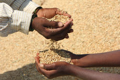Helping Hands. Indian Rural Woman Giving Paddy Stock Photo