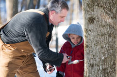 Helping in the sugar bush Stock Images