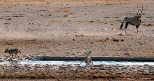 Helpless. A springbok trying to get out of the water while a jackal runs towards it Royalty Free Stock Images