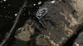 Helpless lizard covered with oil chemicals after ecological catastrophe. Helpless animal lizard covered with black oil chemicals after ecological catastrophe stock video