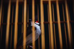 Helpless Caged Bird. A caged bird looking from the inside out, in Thailand Stock Photos