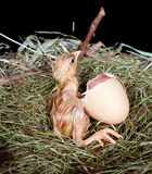 Helpless chick. Helpless little chick still wet after hatching Royalty Free Stock Photo