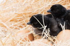 Helpless little chick still wet after hatching. In the nest Stock Images