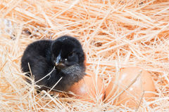 Helpless little chick still wet after hatching Royalty Free Stock Photo