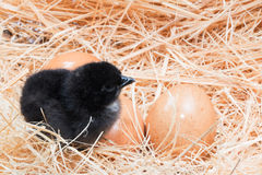 Helpless little chick still wet after hatching. In the nest Royalty Free Stock Photo