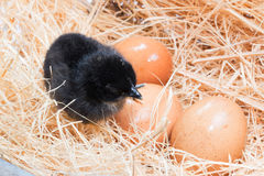 Helpless little chick still wet after hatching. In the nest Royalty Free Stock Photos