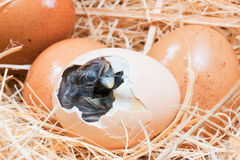 Helpless little chick still wet after hatching. In the nest stock photo