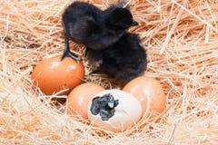Helpless little chick still wet after hatching Stock Photo