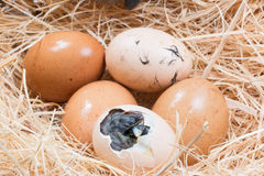 Helpless little chick still wet after hatching. In the nest Royalty Free Stock Photography