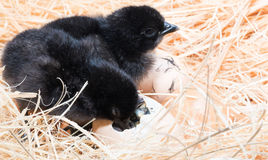 Helpless little chick still wet after hatching. In the nest Stock Photos