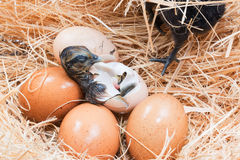 Helpless little chick still wet after hatching. In the nest Royalty Free Stock Image