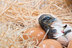 Helpless little chick still wet after hatching Stock Photos