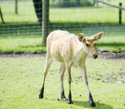 Helpless looking fawn. In the field Stock Image