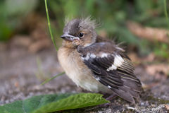 Helpless young sparrow. Small sparrow is to be ready to leave the nest Royalty Free Stock Image