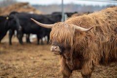Helsinki, Finnland - 1. April 2018: Vieh an Haltiala-Bauernhof in Helsinki an Ostern-Feiertag stockbilder