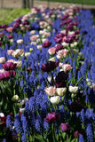 Helsinki Spring. Tulips and bluebells bloom in Helsinki, Finland Royalty Free Stock Photo
