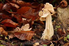 Helvella Crispa Stock Photography