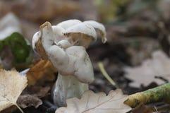Helvella crispa white saddle mushroom Stock Photos