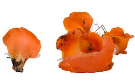 Helvelloides di Tremiscus Immagini Stock