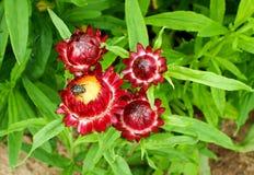 Helychrysum - Immortelle Stock Afbeelding