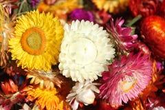 Helychrysum - immortelle flowers. Helychrysum - Immortelle. Everlasting flower. Strawflower.Beautiful immortelle flowers of different colors Stock Image