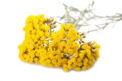 Helychrysum Stock Photography