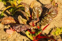 Hem för beta för schweizisk Chard vulgaris - som är fullvuxet och som är organiskt på en odlingslott i en grönsakträdgård i lantl arkivfoto
